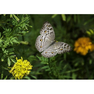 grafika-Puzzle - 100 pieces - Butterfly